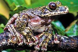 Rabbs Fringe-Limbed Treefrog