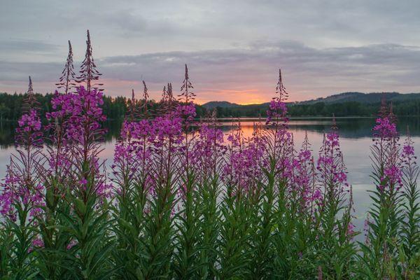 Blossom in the Midnight Sun thumbnail