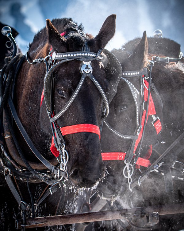 Draft Horses Resting in the Frozen Air thumbnail