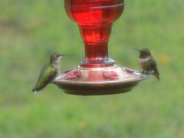 Hummingbirds on a break thumbnail