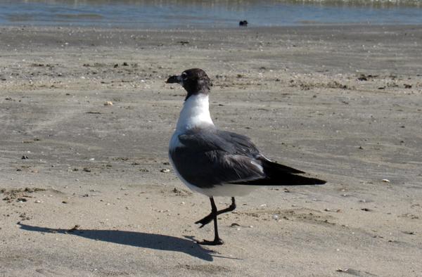 A Bird Walking thumbnail