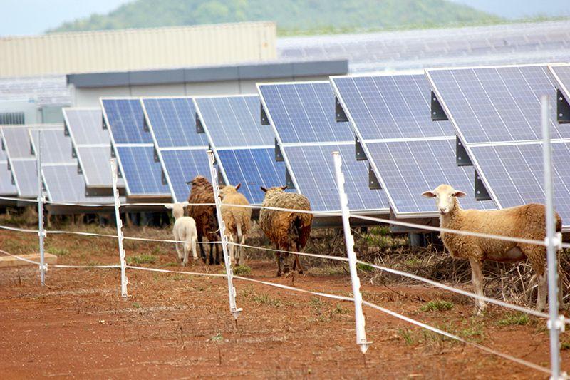 sheep-on-solar-farm.jpg