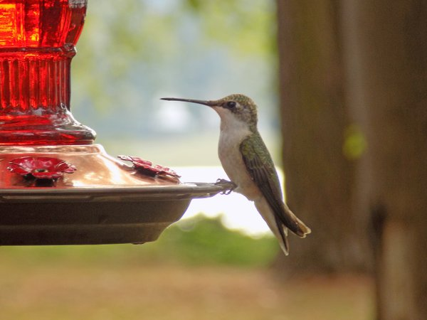 A Hummingbird thumbnail