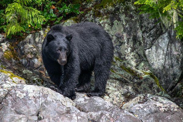 Vancouver Island Black Bear, Tofino BC thumbnail