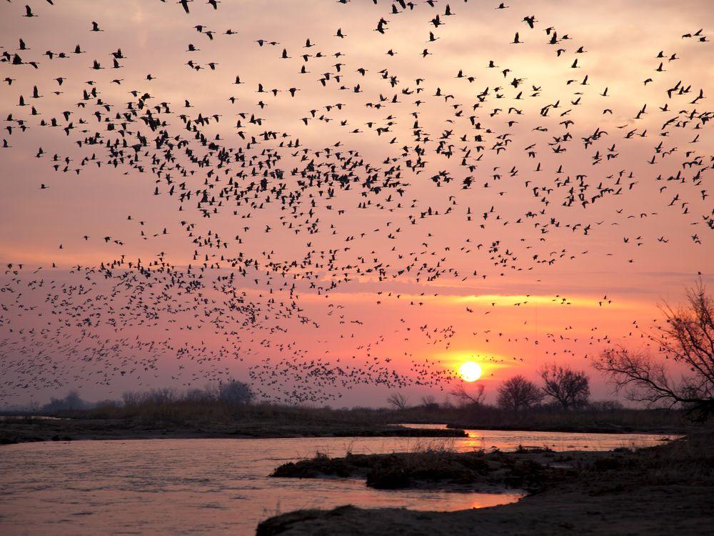 Spring Bird Migrations, Sandhill Cranes