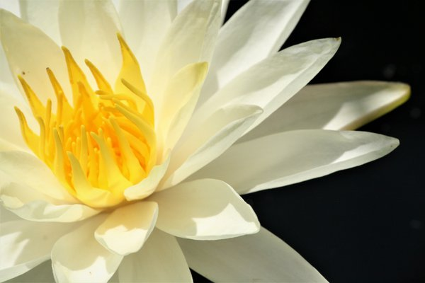 Water Lilly Elegance thumbnail