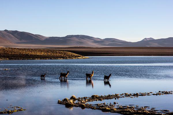 Lhamas at the Lake thumbnail