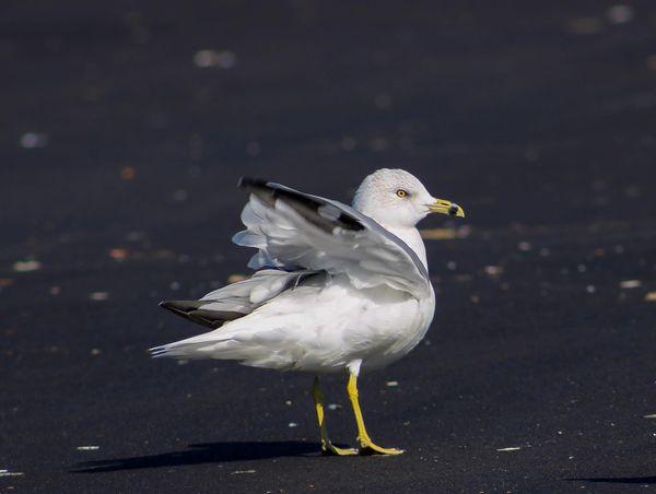 Common Seagull thumbnail