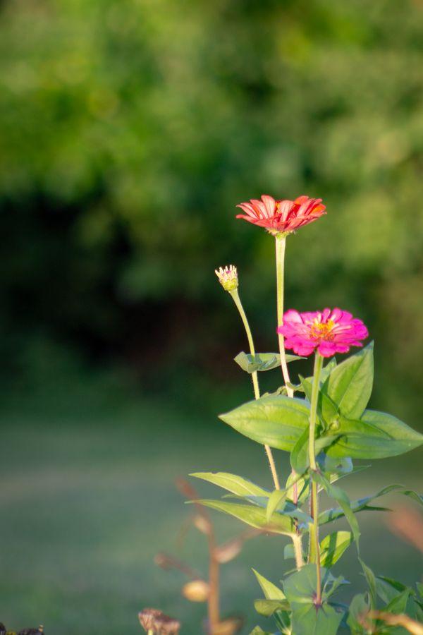 Cone flower thumbnail