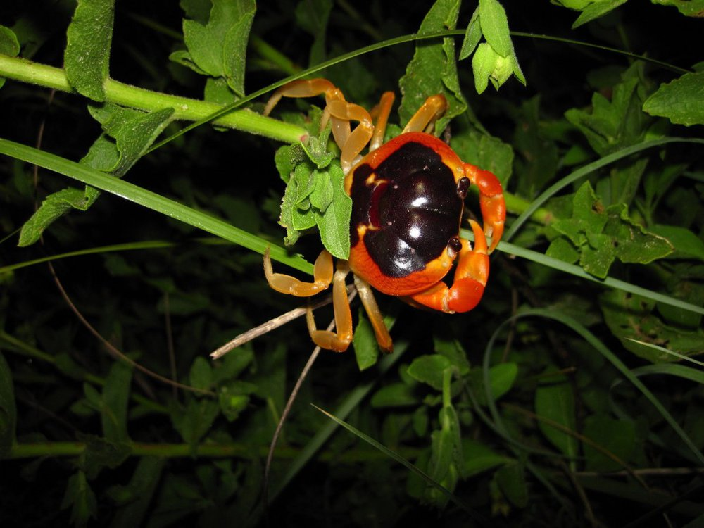 Halloween crabs are known for their orange and black pattern.