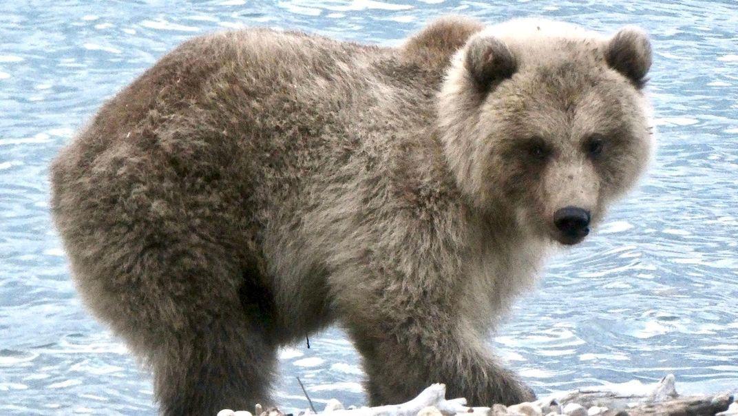 A Jumbo Jet Among Bears, 747 Soars to Top Spot in Fat Bear Week