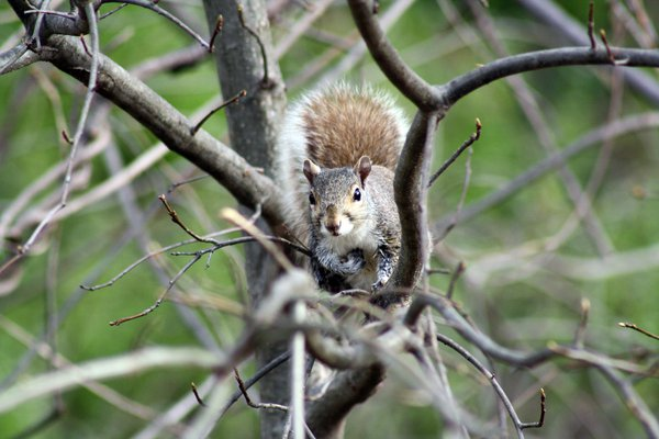 Squirrel carries nut on tree branch thumbnail