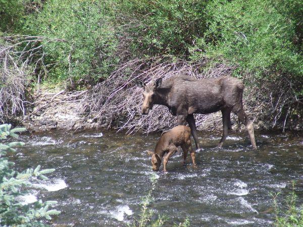 Mama Moose and Calf thumbnail