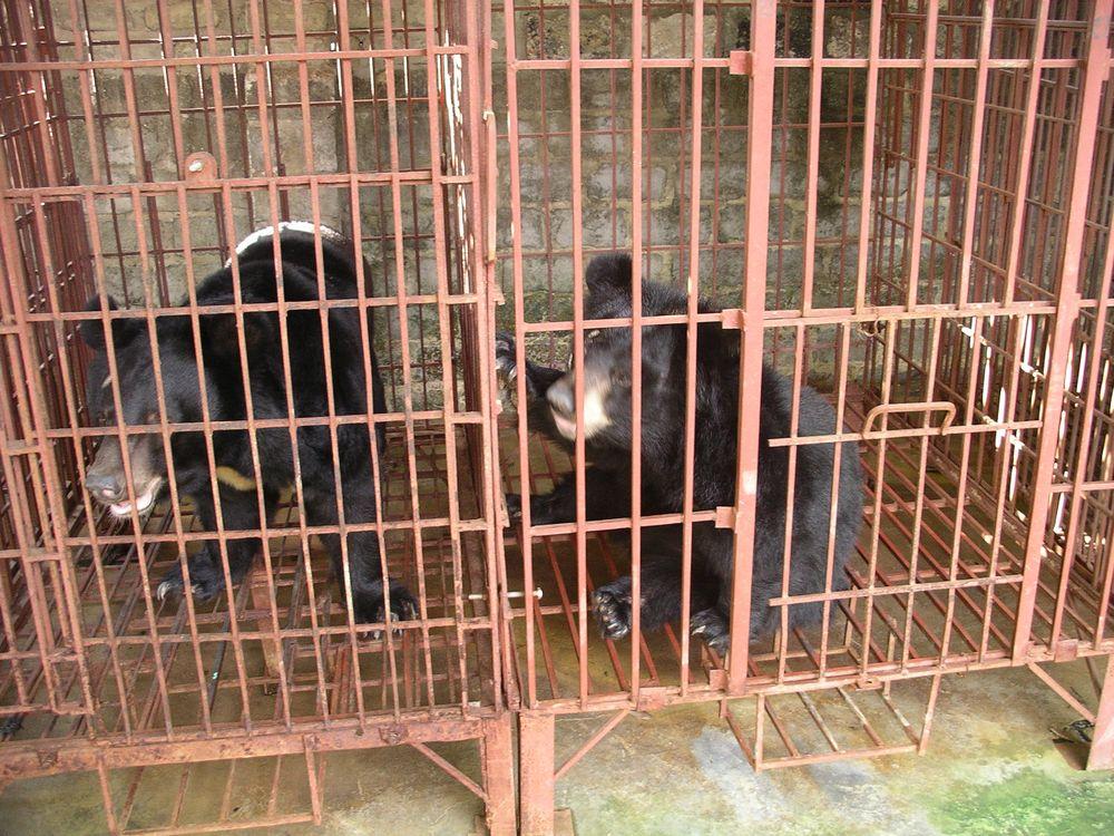 Bile Bears