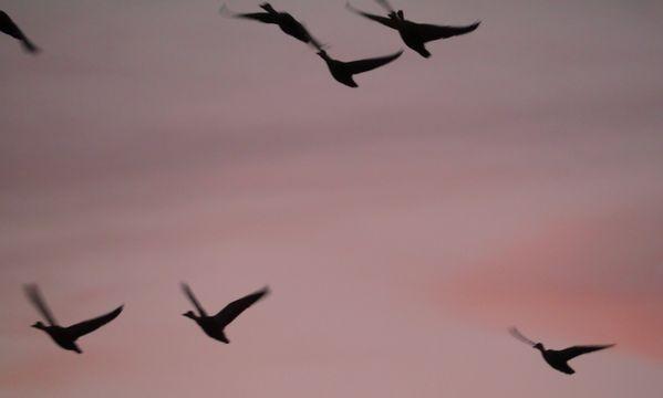 Wild Goose flying in the October evening sky on phantom Isle thumbnail