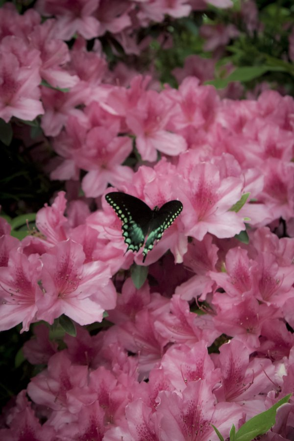 Butterfly and azaleas 1 thumbnail