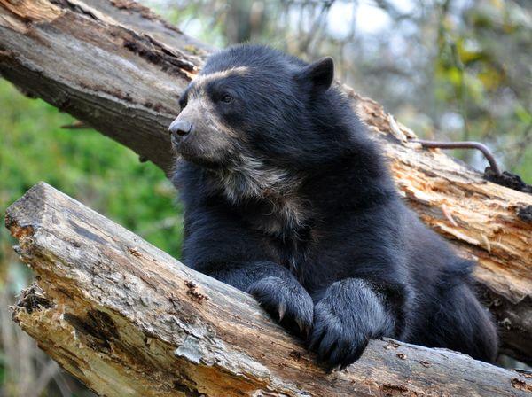 An Andean Bear at Jersey Zoo thumbnail