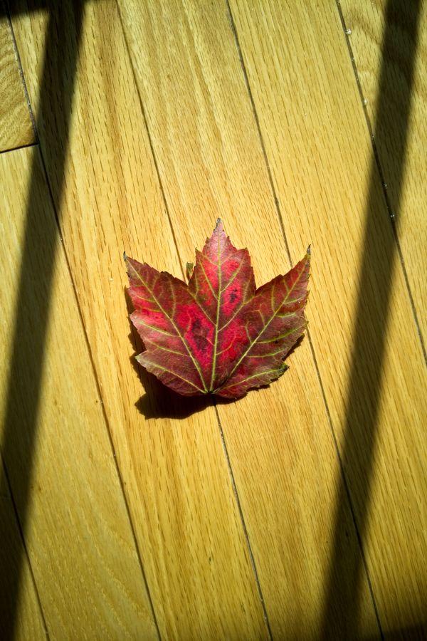 A Maple Leaf Basks in Sunlight Inside My House thumbnail