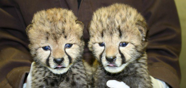The National Zoo's new cheetah cubs, at 16 days old
