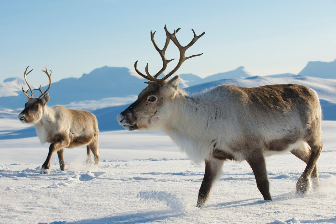 The Best Places to See Reindeer Around the World