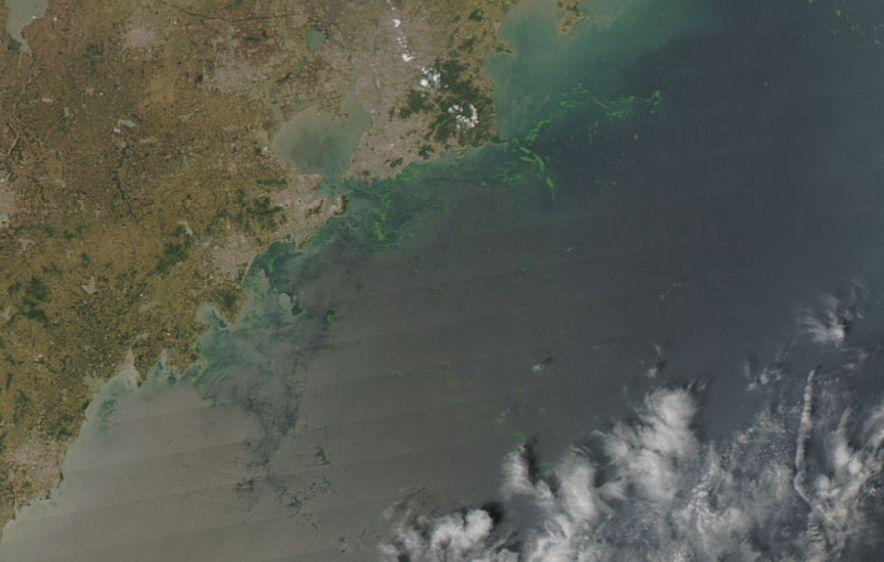 Algae in the Yellow Sea near Qingdao in 2008