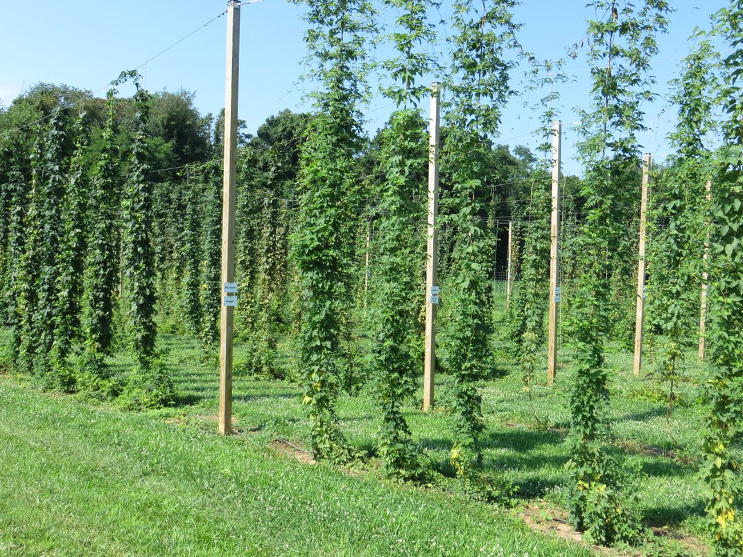 The East Coast May Be On the Brink of a Hop Renaissance