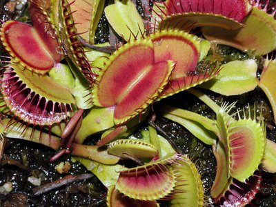 """The """"jaws"""" of the carnivorous Venus flytrap plant are actually modified leaves."""