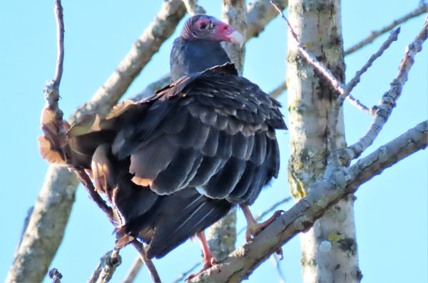 turkey vulture in a tree. thumbnail