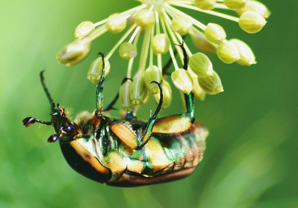 Green June Bug thumbnail