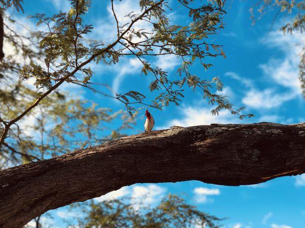 Woodpecker at Diamond Head overlooking Honolulu thumbnail