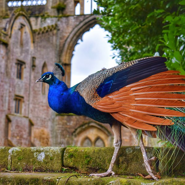 Peacock at Newstead Abbey thumbnail