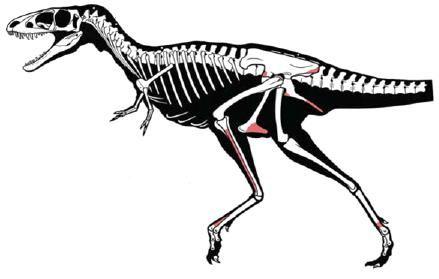 20110520083149raptorex-skeleton.jpg