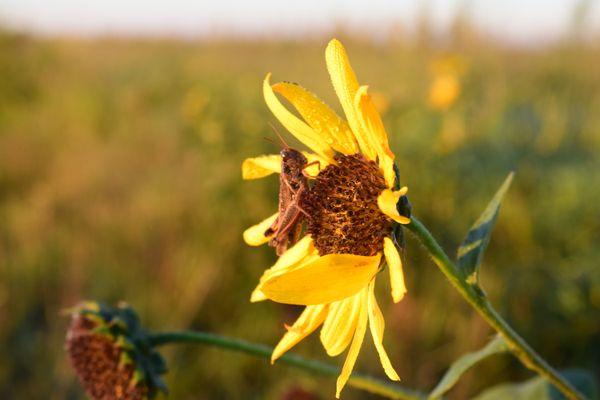 A Grasshopper resting on a Sunflower thumbnail
