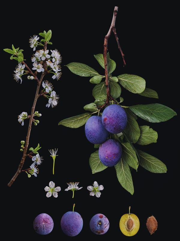 Prunus domestica 'President' thumbnail