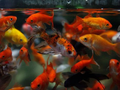 The Paris Aquarium rescues unwanted goldfish and gives them a home.