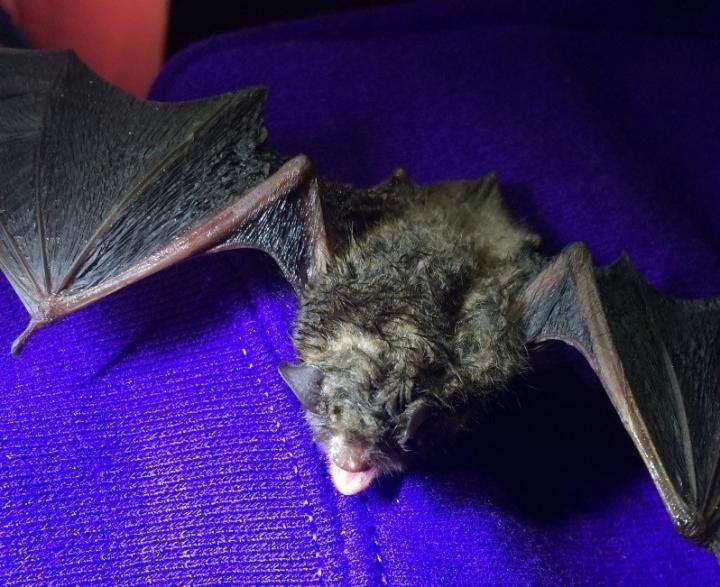 UV Bat