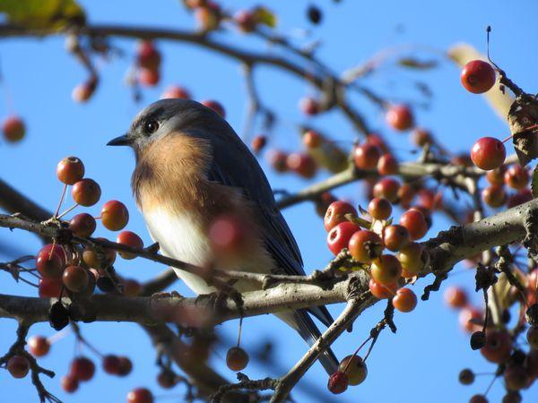 Eastern Bluebird on Watch thumbnail
