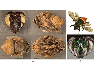 Bees from the nest structures: A) Head, side, top and bottom views of bees found inside the cells, B) drawing of Eufriesea surinamensis and photograph of the head of a modern bee taken by David Roubik