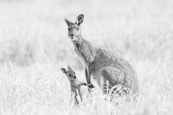 Mother and joey in a field thumbnail