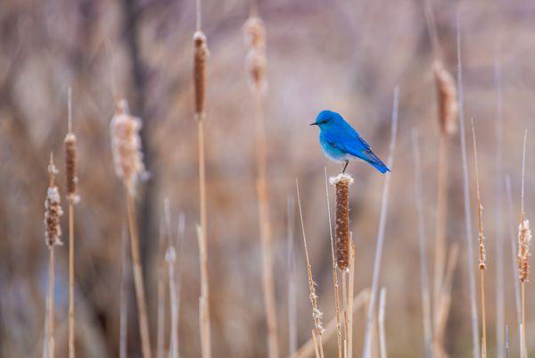 Mountain Bluebird thumbnail