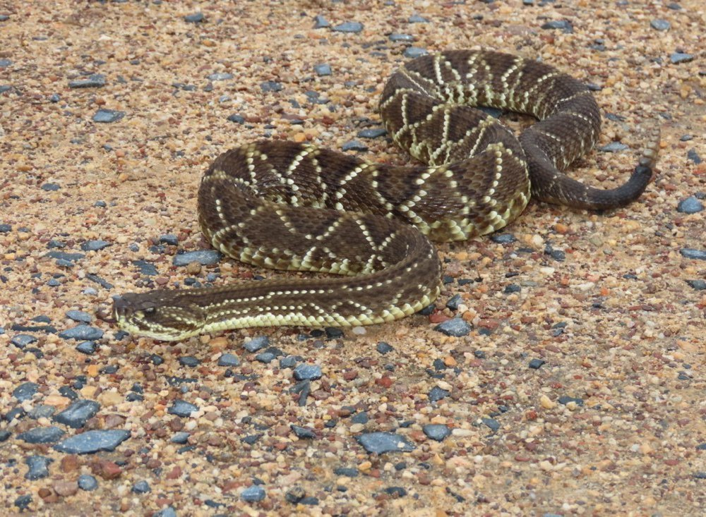 The neotropical rattlesnake, Crotalus durissus, inhabits at least 11 South American countries. This species of viper is widespread and thrives in dry climates. (Carla da Silva Guimarães)