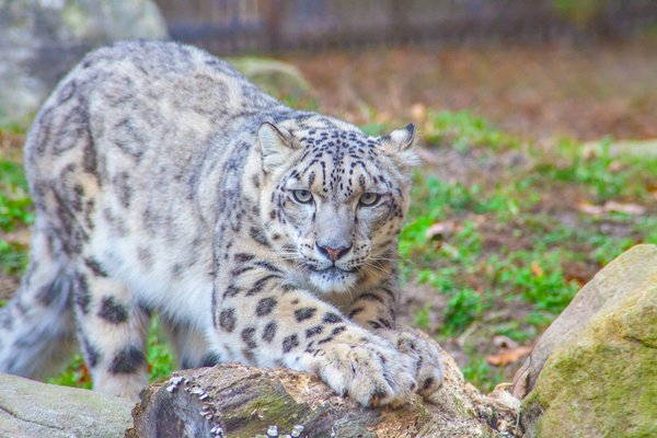 The Majestic Snow Leopard. thumbnail