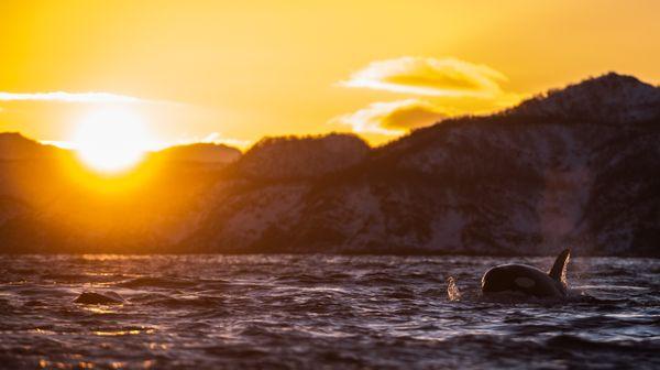 Sunset Orca thumbnail