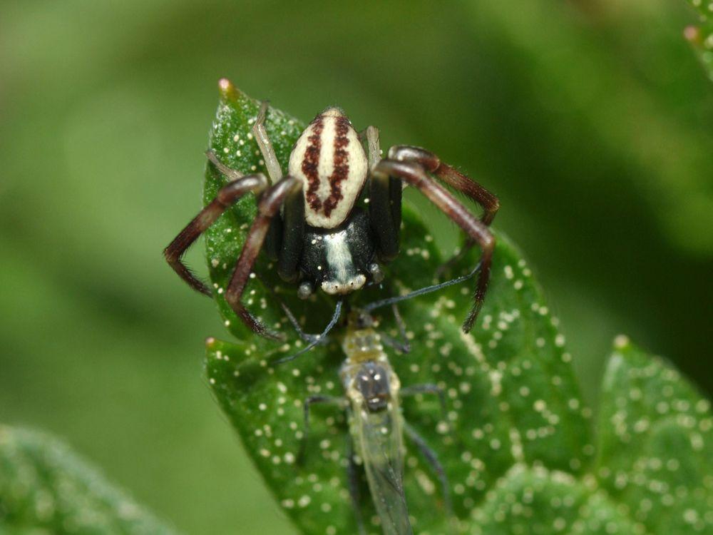 Spider_with_prey_(14232910553).jpg