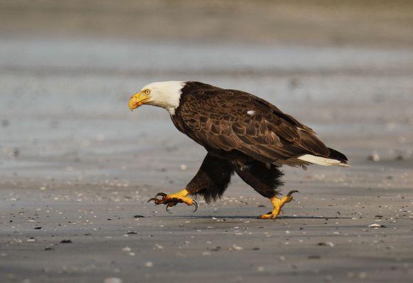 Running Eagle thumbnail