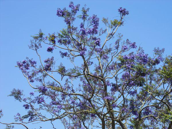 Tree in bloom thumbnail
