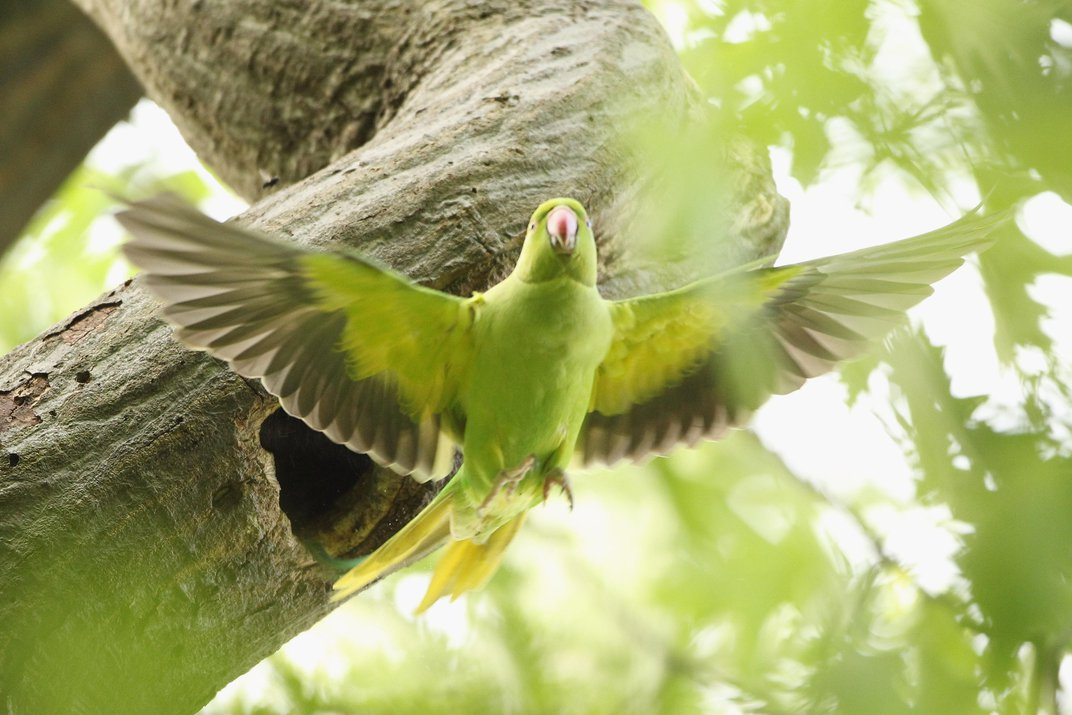 Contrary to Popular Legend, Jimi Hendrix Did Not Introduce an Invasive Parakeet to the U.K.