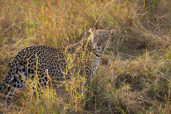 Leopard in the Grass thumbnail