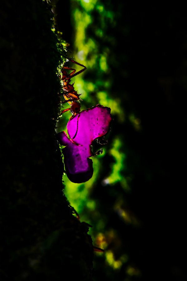Leaf Cutter Ant thumbnail