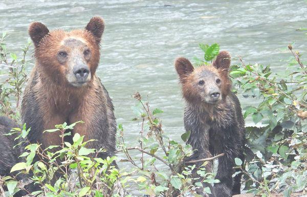 Grizzly Bears at Campbell River, BC, Canada thumbnail